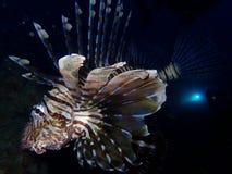 De onderwaterwereld in diep water in koraalrif en installaties bloeit flora in het blauwe wereld mariene wild, Vissen, koralen en stock afbeelding