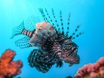 De onderwaterwereld in diep water in koraalrif en installaties bloeit flora in het blauwe wereld mariene wild, Vissen, koralen en royalty-vrije stock foto
