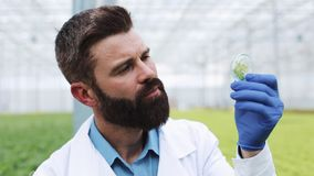 De onderzoeker neemt een sonde van groene installatie en zet het in een petrischaal Landbouwingenieur die in serre werken stock footage