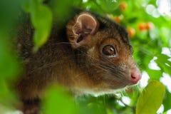 De Ondiepe Nadruk van het Opossum van Ringtail stock afbeelding