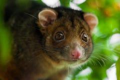 De Ondiepe Nadruk van het Opossum van Ringtail royalty-vrije stock afbeeldingen