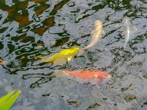De Onduidelijk beeld Kleurrijke Karpers of buitensporige Karpers of Koi-karpers die in de vijver zwemmen Royalty-vrije Stock Fotografie