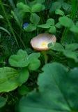 De oneetbare vorm van het paddestoelslijm in gras Stock Fotografie