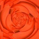 De oneindigheids spiraalvormige abstracte achtergrond van de Gerberabloem Royalty-vrije Stock Afbeeldingen