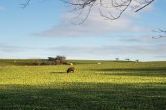 De oneven schapen royalty-vrije stock fotografie