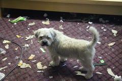 De ongehoorzame hond met huisvuil in de mond maakte thuis knoeien royalty-vrije stock afbeeldingen