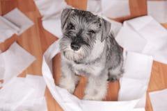 De ongehoorzame leuke hond van het schnauzerpuppy maakte thuis knoeien De hond is naar huis alleen royalty-vrije stock afbeelding