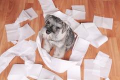 De ongehoorzame leuke hond van het schnauzerpuppy maakte thuis knoeien De hond is naar huis alleen royalty-vrije stock foto's
