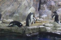 De ongehoorzame leuke spelen van het pinguïnenspel Stock Foto's