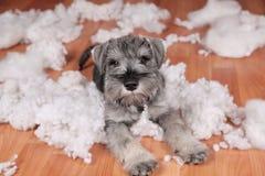 De ongehoorzame slechte leuke hond van het schnauzerpuppy maakte thuis knoeien, vernietigd pluchestuk speelgoed De hond is naar h stock fotografie