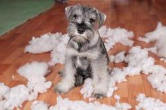 De ongehoorzame slechte leuke hond van het schnauzerpuppy maakte thuis knoeien, vernietigd pluchestuk speelgoed De hond is naar h royalty-vrije stock afbeelding