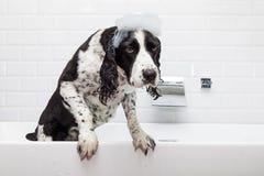 De ongelukkige Hond van het Aanzetsteenspaniel in Ton Royalty-vrije Stock Fotografie