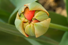 De ongeopende close-up van de tulpenknop Stock Foto's