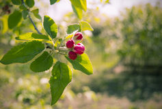 De onontloken appel van de bloemtuin op een tak in de lente Stock Afbeeldingen