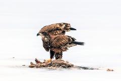 De onrijpe kale adelaar fladdert vleugels door dood dier Royalty-vrije Stock Afbeeldingen