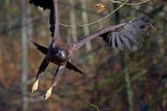 De onrijpe kale adelaar vliegt door de takken van bomen aangezien het naar de camera vliegt royalty-vrije stock afbeeldingen