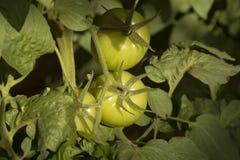 De onrijpe tomaten van Bush Stock Foto