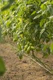 De onrijpe tomaten van Bush Stock Afbeeldingen