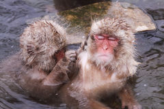 De Onsen-Aap is Genomen Vlo weg door Vriend in Jigokudani Stock Afbeelding
