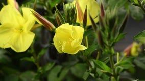 De onthulling van de bloem Enotera lat Oenothera in 4K in real time stock footage