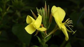 De onthulling van de bloem Enotera lat Oenothera in 4K in real time stock videobeelden