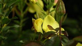 De onthulling van de bloem Enotera lat Oenothera in 4K in real time stock video