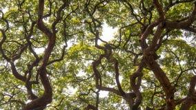 De ontmoeting van luifel twee van acaciabomen stock foto's