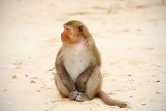 De ontspannen zitting van de aap op het strand, het waarnemen Stock Afbeelding