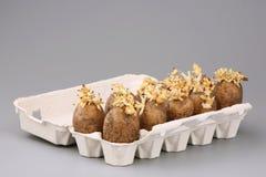 De ontsproten knollen van een aardappel Stock Afbeelding