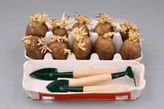 De ontsproten knollen van een aardappel Stock Fotografie