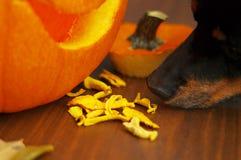 De ontwaterde eigengemaakte pompoenhond behandelt met pompoen, bladeren en stock foto's