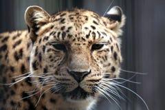 De onverschilligheid van de luipaard Stock Foto
