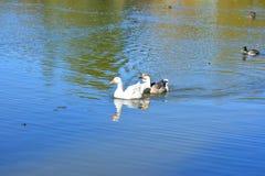 De onverschrokken wilde eenden en de ganzen glijden elegant de wateren Royalty-vrije Stock Afbeelding