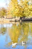 De onverschrokken wilde eenden en de ganzen glijden elegant de wateren Royalty-vrije Stock Fotografie