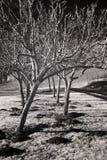 De onvruchtbare Bomen van het Fruit en Wijngaarden, Vallei Willamette Stock Fotografie