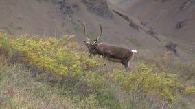 De onvruchtbare Stier van de Grondkariboe stock footage