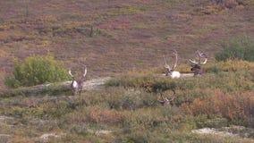 De onvruchtbare Stieren van de Grondkariboe stock videobeelden