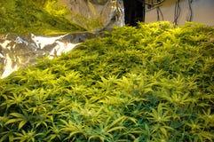 De onwettige Fabriek van de Cannabis van het Stinkdier stock afbeeldingen