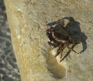 De onzichtbare krab is een verbazend specimen Zijn uniciteit is dat het bijna onmogelijk om onder algen is te vinden Mager en met royalty-vrije stock afbeeldingen
