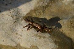 De onzichtbare krab is een verbazend specimen Zijn uniciteit ligt in het feit dat het bijna onmogelijk is om het onder algen te v royalty-vrije stock afbeeldingen