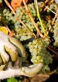 De oogst die van de druif door hand wordt geplukt Stock Foto