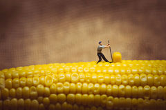 De oogst Macrofoto van de graanmaïs stock afbeeldingen