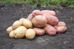 De oogst van de aardappel Stock Foto