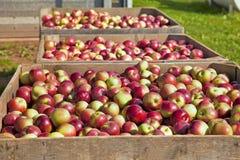 De Oogst van de appel Royalty-vrije Stock Fotografie