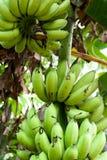 De oogst van de banaan Stock Foto's