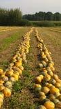 De oogst van de de herfstpompoen op het gebied Royalty-vrije Stock Afbeelding
