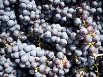 De oogst van de druif Royalty-vrije Stock Fotografie