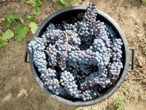 De oogst van de druif Stock Foto's