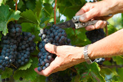 De oogst van de druif Stock Foto