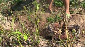 De oogst van de landbouwersvrouw graaft natuurlijke aardappels Linkerkant het glijden Stock Afbeeldingen